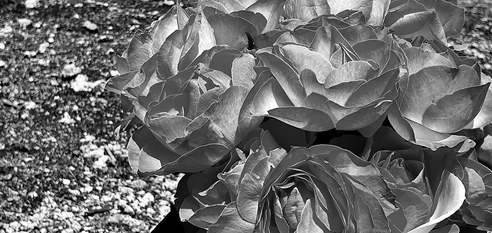 Czarno-białe róże na tle piaszczystej ziemi