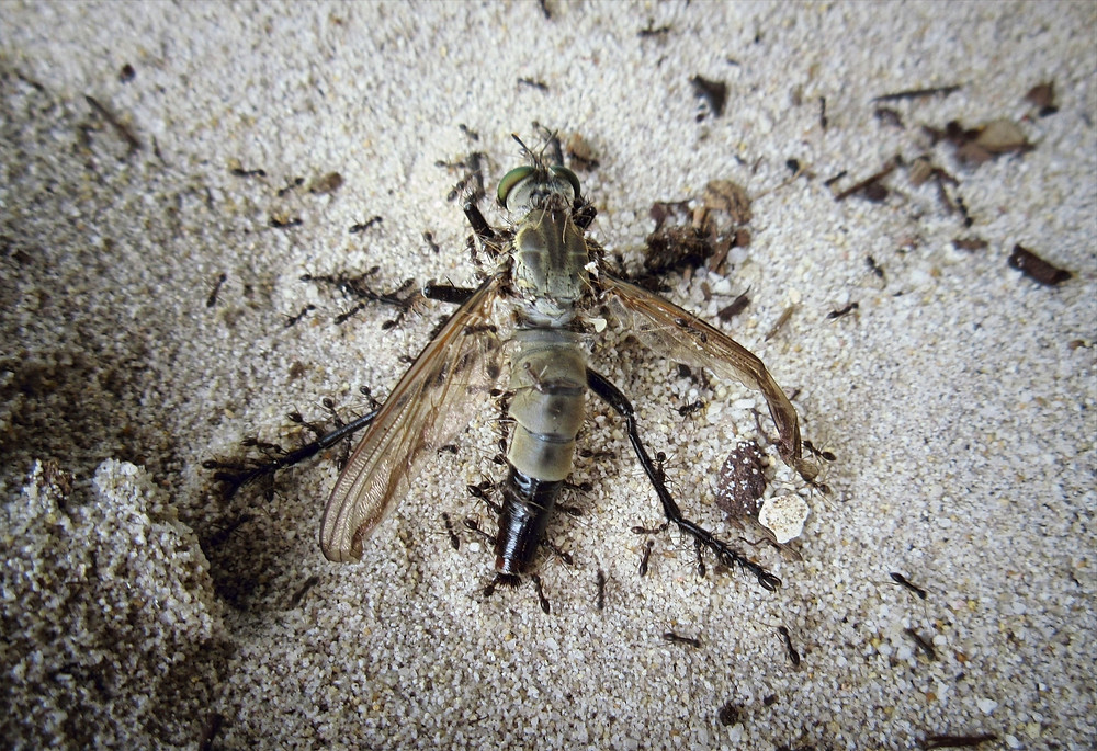 Ogromna martwa mucha na piasku jedzona przez mrówki
