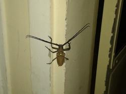 Ogromny chrząszcz