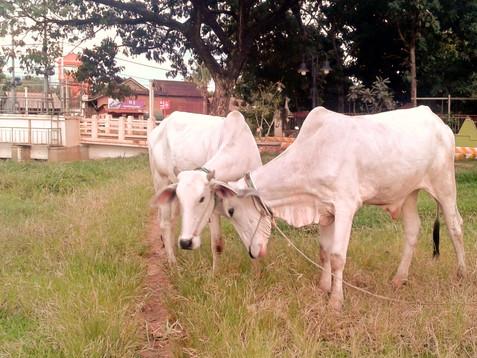Krowy w centrum miasta