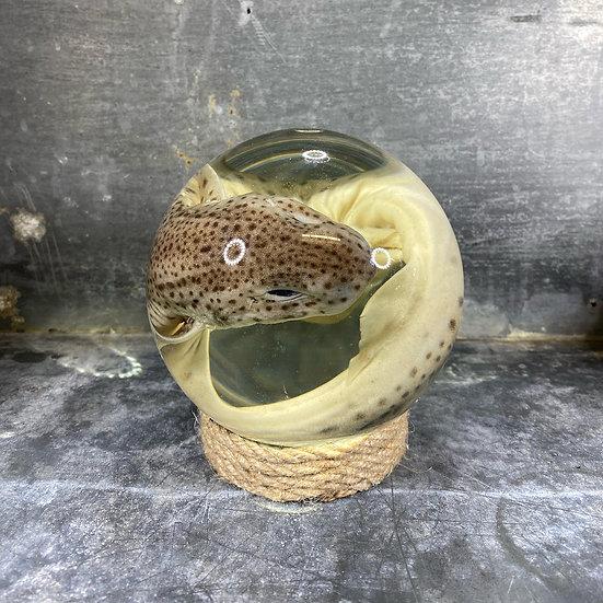 Spécimen requin roussette