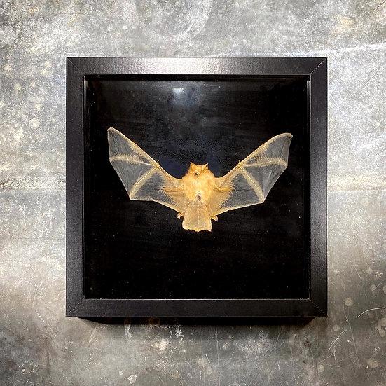 Chauve-souris ailes déployées