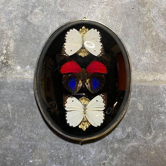 Papillons sous verre bombé