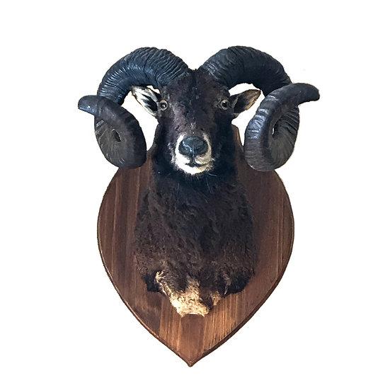 Taxidermie de mouflon
