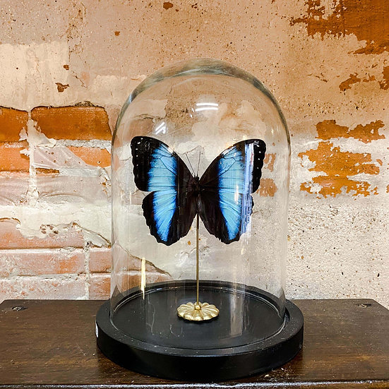 Papillon morpho achilles