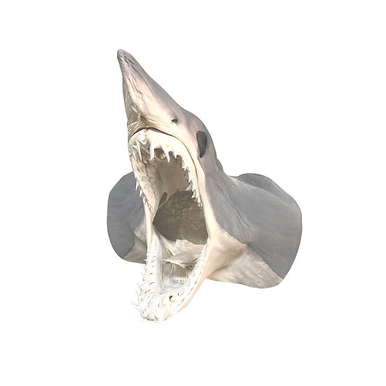 Taxidermie de requin / petit