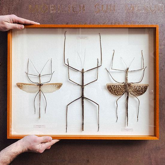 Cadre entomologique de phasmes