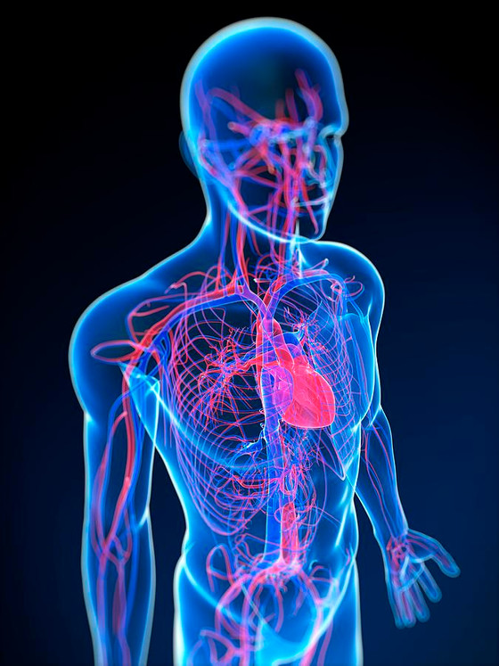Fasting has anti-aging effect on vascular system.