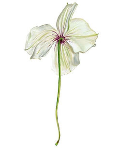 Fiori. #gouache #botanicalillustration #