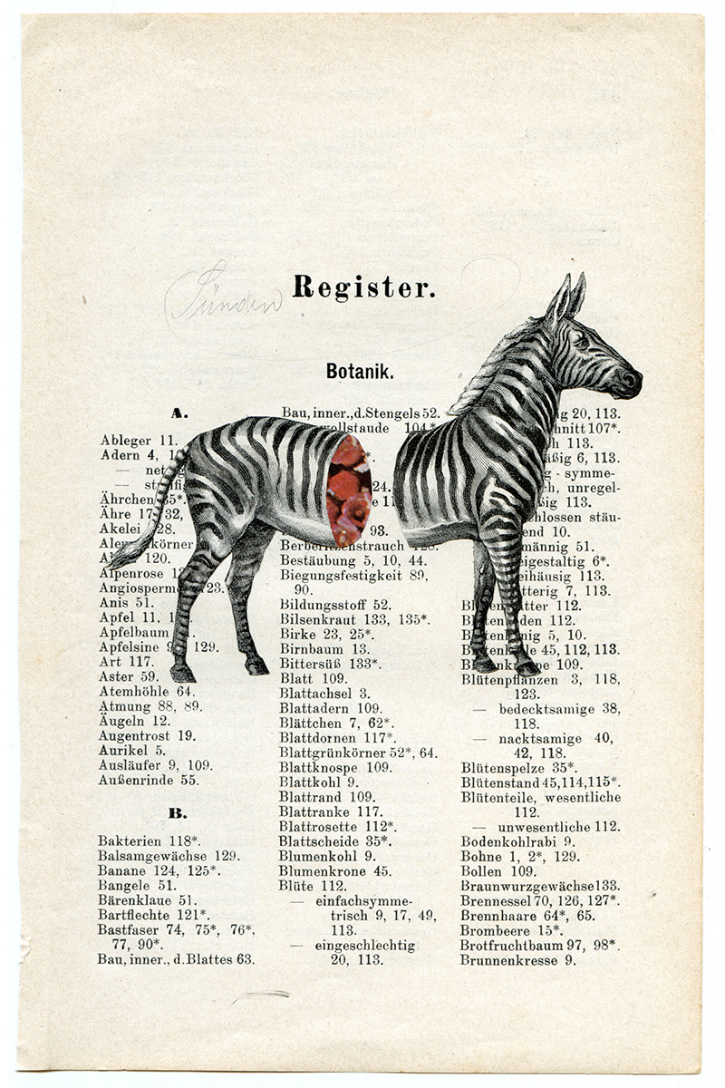 Drought in Kenya . Zebra