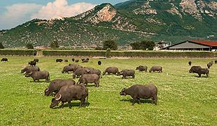 Bufale.png