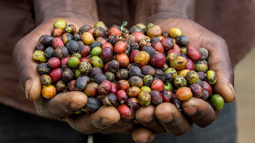 Ethiopia Chelchele Natural - Organic Lot # 225