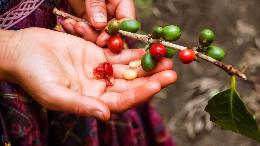 Guatemala La Pinada Organic - 12 oz.