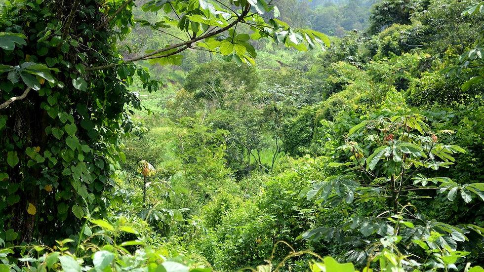 Decaf Chiapas Mountain Water Process - Organic