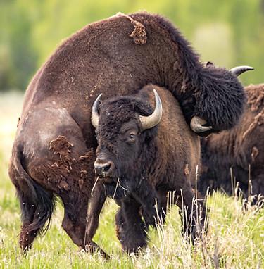 Bison Rut Grand Tetons Photography Workshop