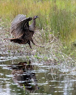 Turkeys wildlife photography workshop Savannah GA