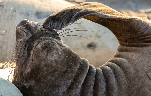 Pacific elephant seal scratching
