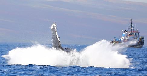 Humback Whale Maui
