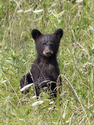 Black Bear Cub Smoky Mountains