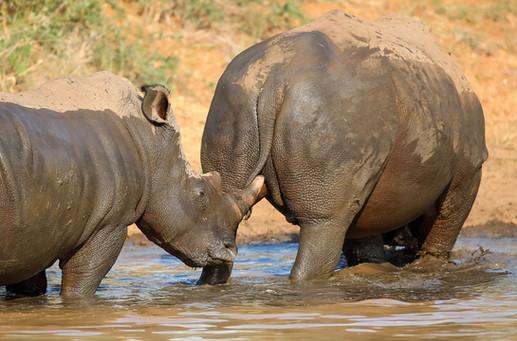 Rhino  South Africa Safari Tripod Travelers