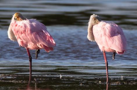 Roseate Spoonbills sleeping Sanibel Island Florida