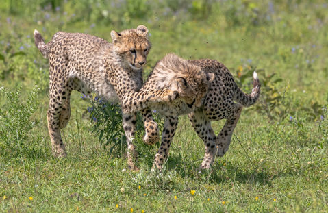 Cheetah Cubs Playing Photogaphy Safari Workshop