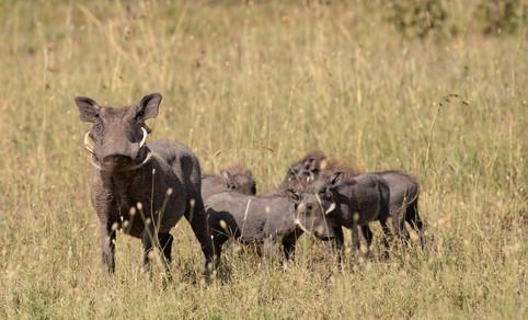Wort Hog Tanzania Photography Safari