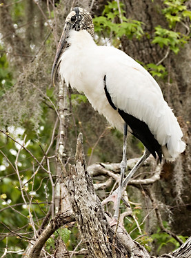 Glossy Ibis Wood Stork Wildlife Photography Workshop