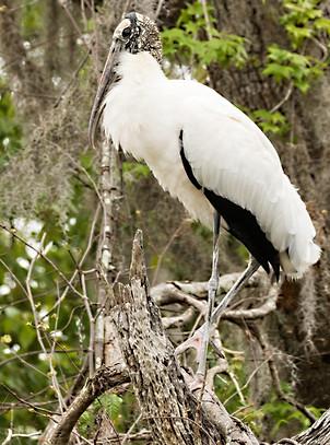 Glossy Ibis Wood Stork Wildlife Photography Workshop