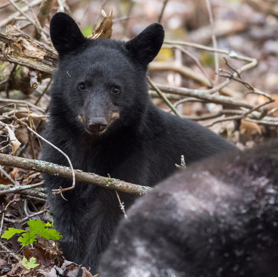 Black Bear Cub Smoky Mountains Fall