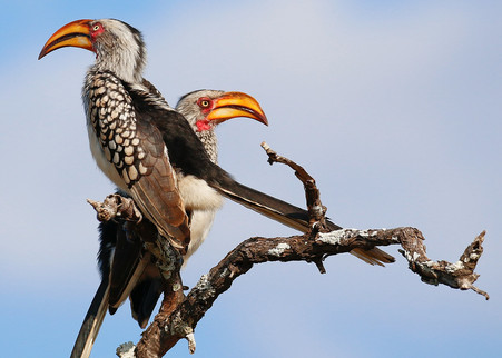 Hornbill Africa Safari Tripod Travelers