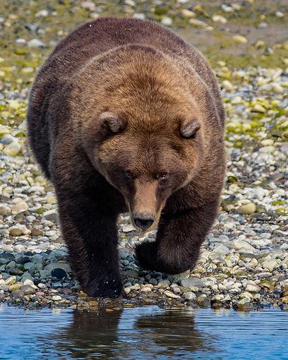Alaska Brown Bear Silver Salmon Creek