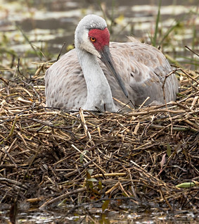 Sandhill Heron sitting on Nest