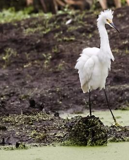 Egret Savannah GA