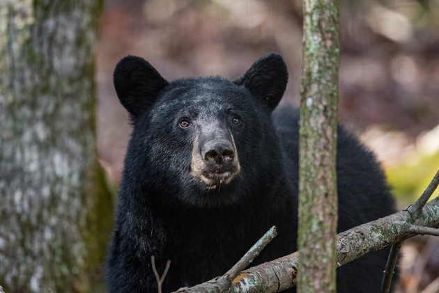 Black Bear Cades Cove Fall