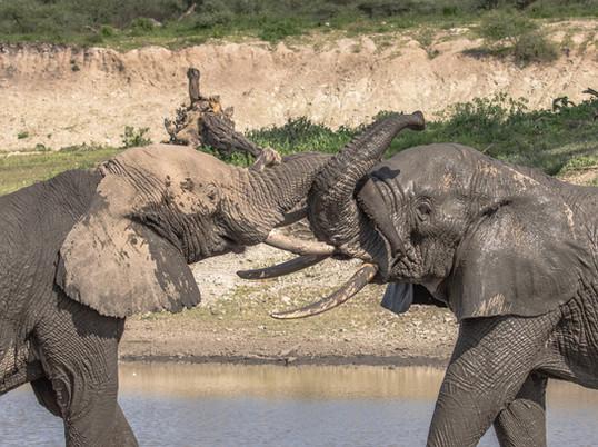 Elephants Tanzania Photography Safari