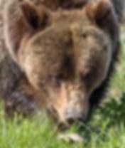 Grizzly Bear Grand Teton Photography Workshop