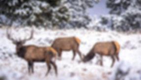 Elk Yellowstone National Pak Winter Photography Workshop