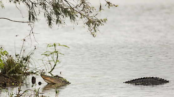 Alligator Savannah, GA