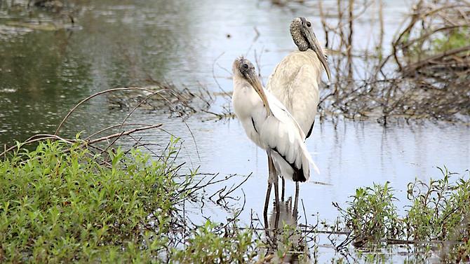 Wood Storks Savannah GA