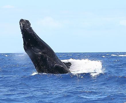 Whale breech Maui Photography workshop