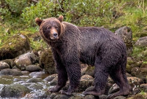 Grizzly Bear Great Bear Rain Forest