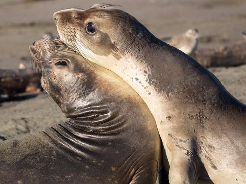 Elephant Seals playing on beach