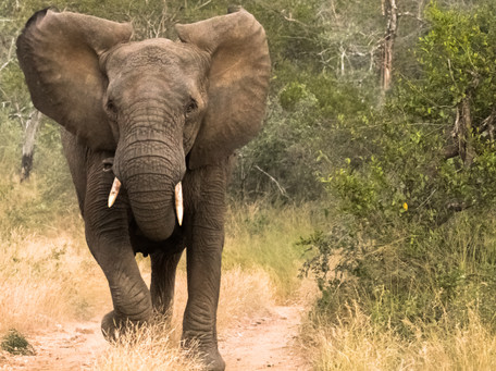 Elephant Charge  South Africa Safari Tripod Travelers