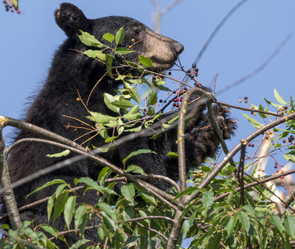 Black Bear Great Smoky Mountains