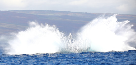 Humpback Whale Breach Maui, Hawaii