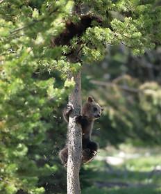 Grizzly Bear Grand Teton National Park