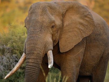 Elephant  South Africa Safari Tripod Travelers
