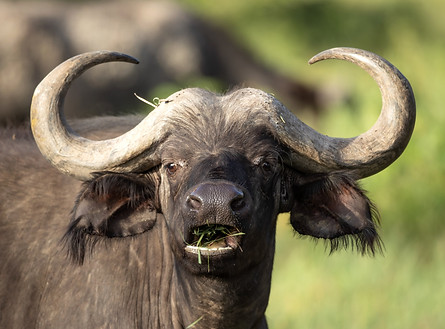 Cape Buffalo Tanzania Photography Safari