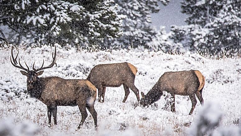 Elk Rut Yellowstone National Park